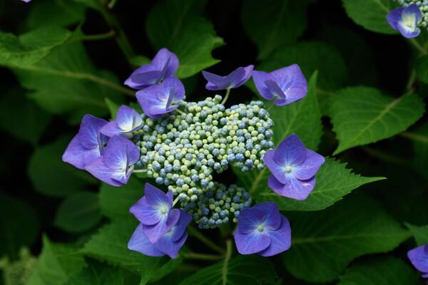 (旬)額紫陽花