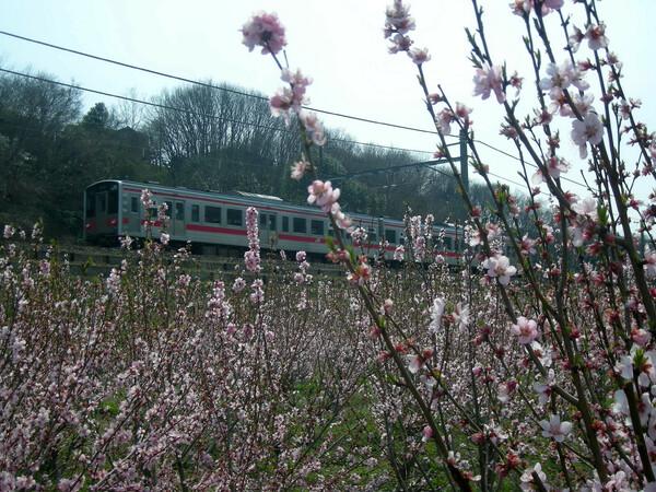 梅の花と国鉄電車