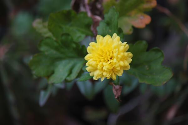 春に咲きたい小菊