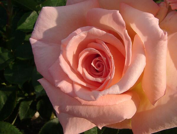 ★09春バラ・セレクション-55