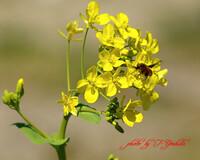 菜の花に、ハチ?