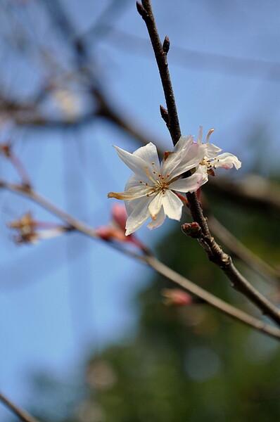 24日の桜
