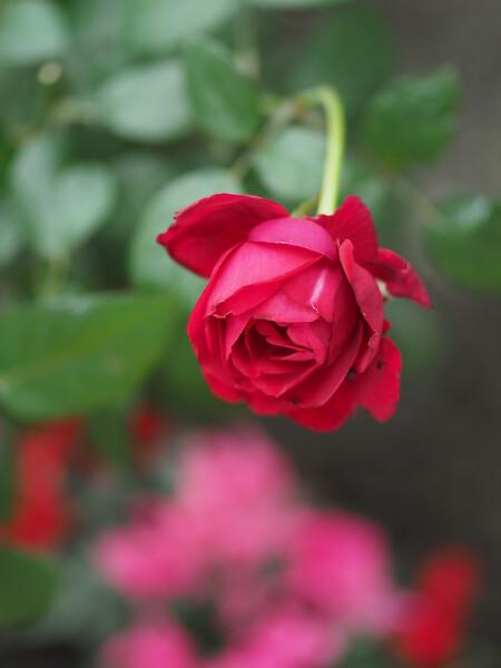 秋風薔薇(西武園ゆうえんち)1