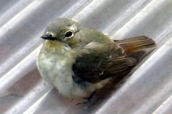 窓に衝突した鳥