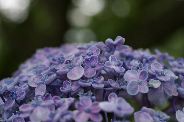 マクロな紫陽花1