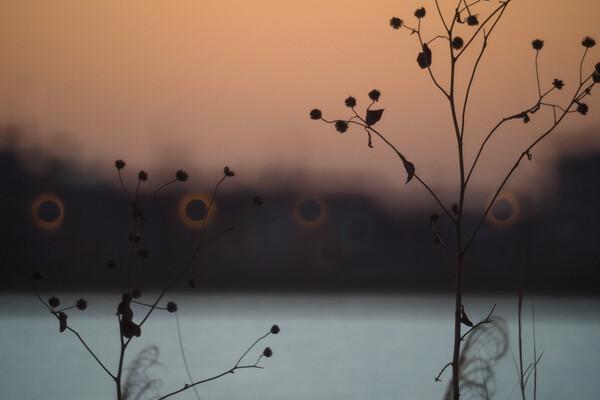 夜明けの枯れ草