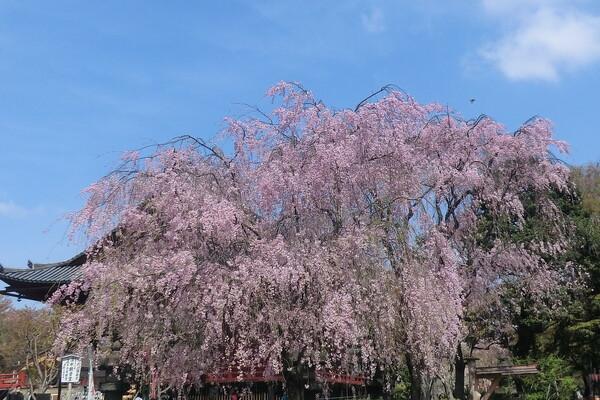 【淡彩】枝垂れ桜