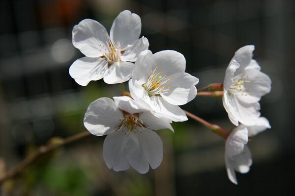 今日のeosの桜