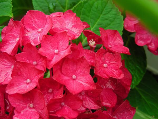 雨の紫陽花 ②