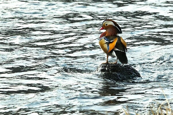 日野川のオシドリ