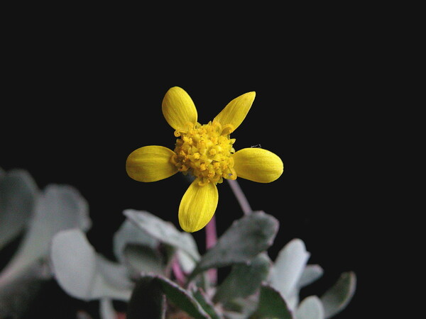 カカリオイデスの花