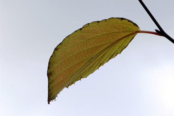 一葉を見上げる