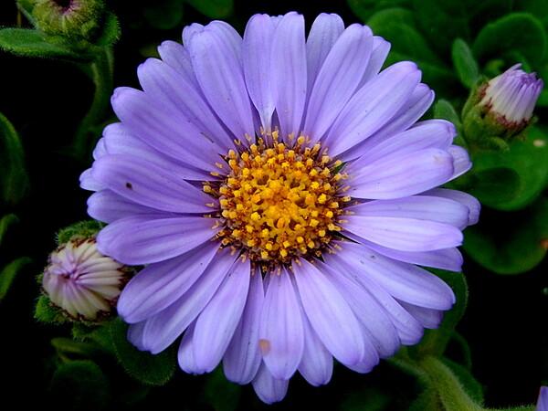 菊科の花UP
