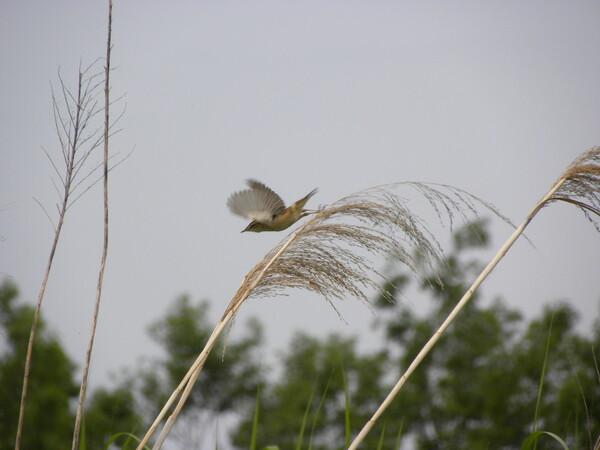 オオヨシキリの飛翔