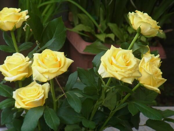 【温】父の日の花