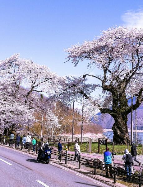 【縦画像】荘川桜満開❤