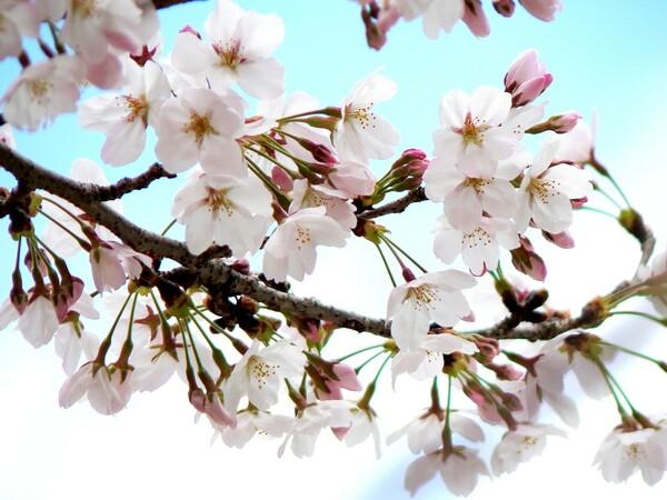 【桜】春らしく