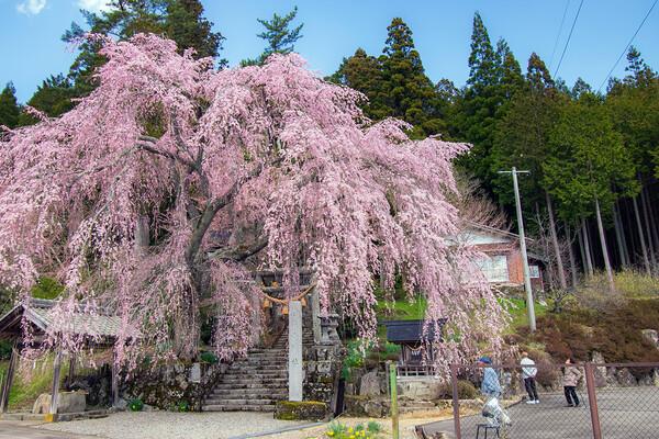 森山神社の枝垂れ桜