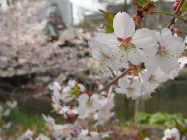 札幌道庁の桜