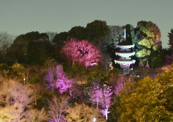 三重塔と桜の夜景