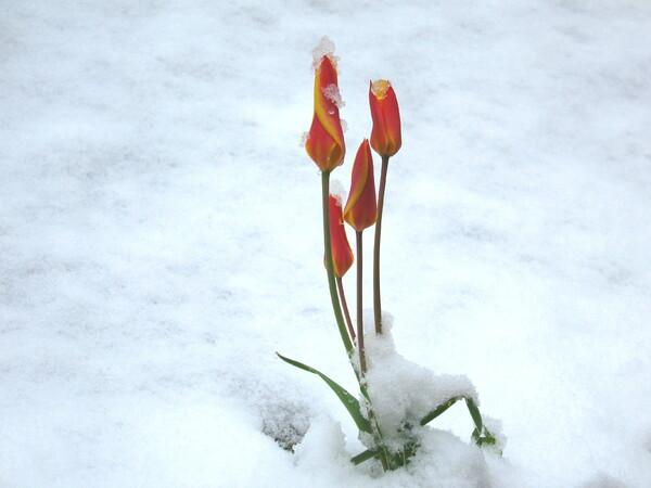 雪のチューリップ
