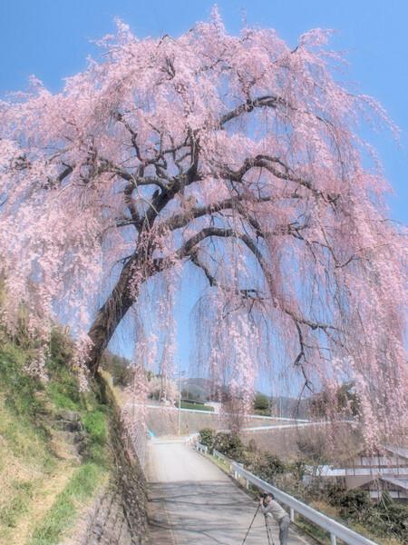 【淡彩】枝垂桜を撮る