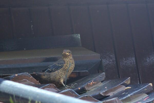 巣立つたイソヒヨドリの雛?