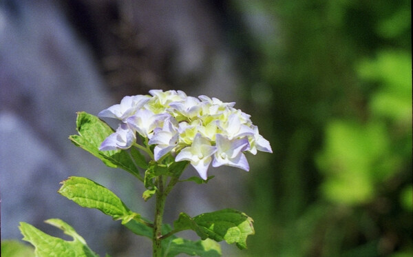 気の早い紫陽花