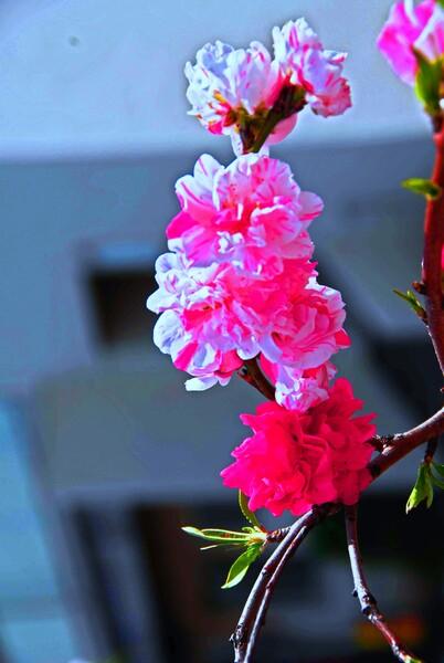 『春の予感』花桃