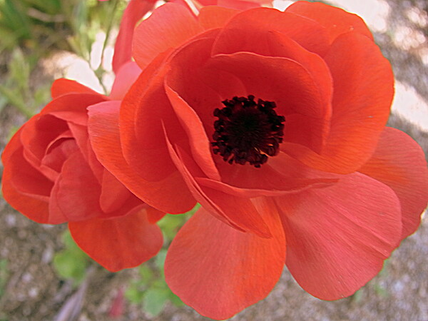 赤い花 ラナンキュラス
