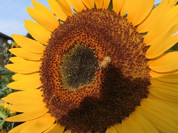 怪獣ヒマワリドンとハチのムサシ