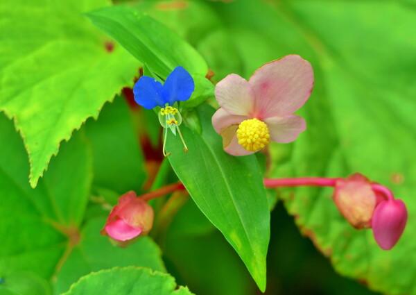 秋海棠と露草