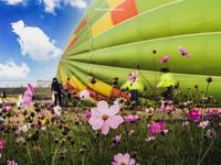 秋桜と熱気球