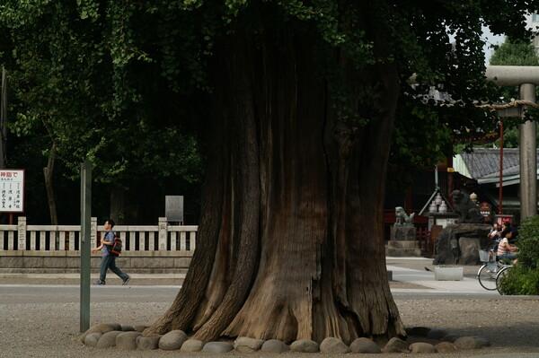 巨木シリーズ