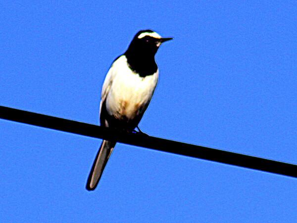 日本固有の鳥