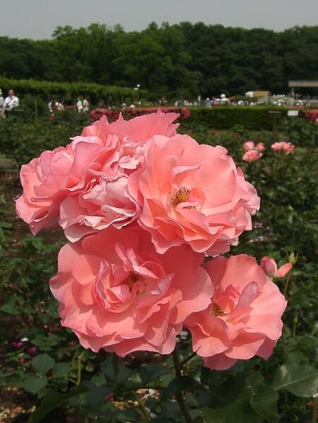 ★09春バラ・セレクション-79