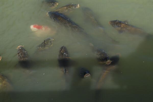池の鯉たち