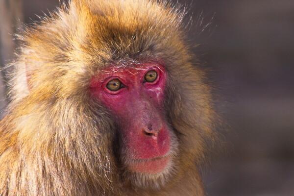 猿にも年輪がある、
