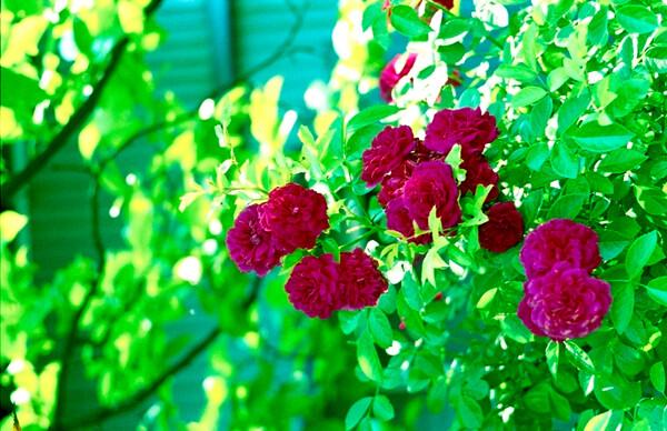 心地よい陽光と赤い薔薇