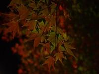 夜の紅葉・・・