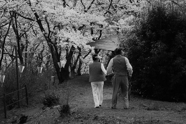 【桜】年輪の花見