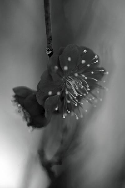 【白黒写真】 花