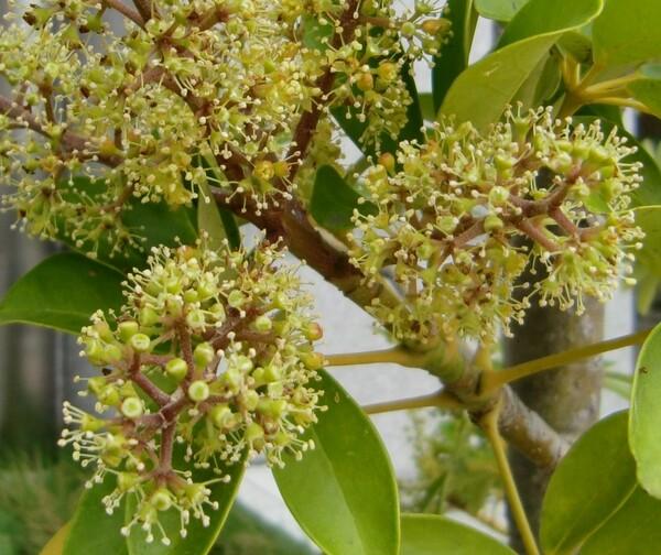 カポック(シェフレラ)の花