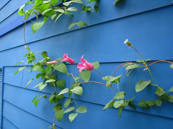 【植】壁につたう