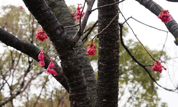 カンヒザクラ 大阪城公園