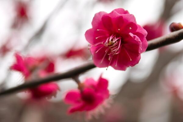 紅梅が咲きはじめました