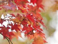 秋風の紅葉
