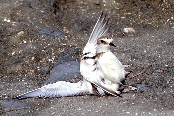 シロチドリの交尾 2
