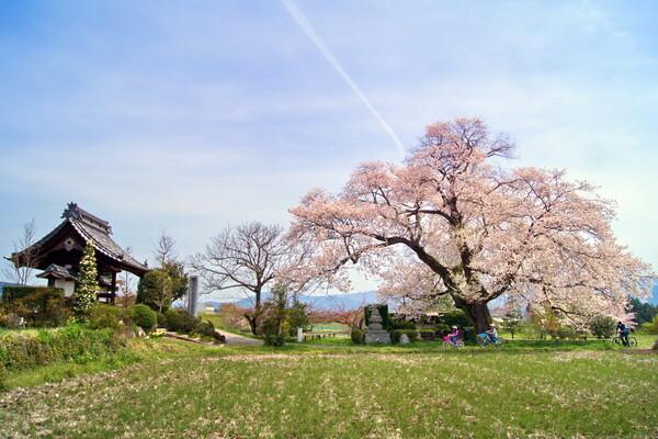 松源寺の桜