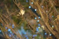 夕暮れの雀